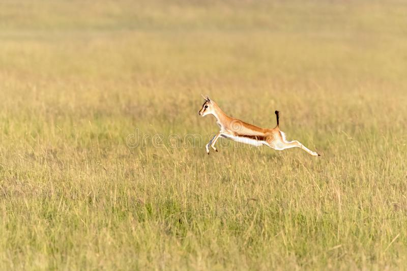 Thomsons Gazelle leaps in the long grass of the Masai Mara stock photo