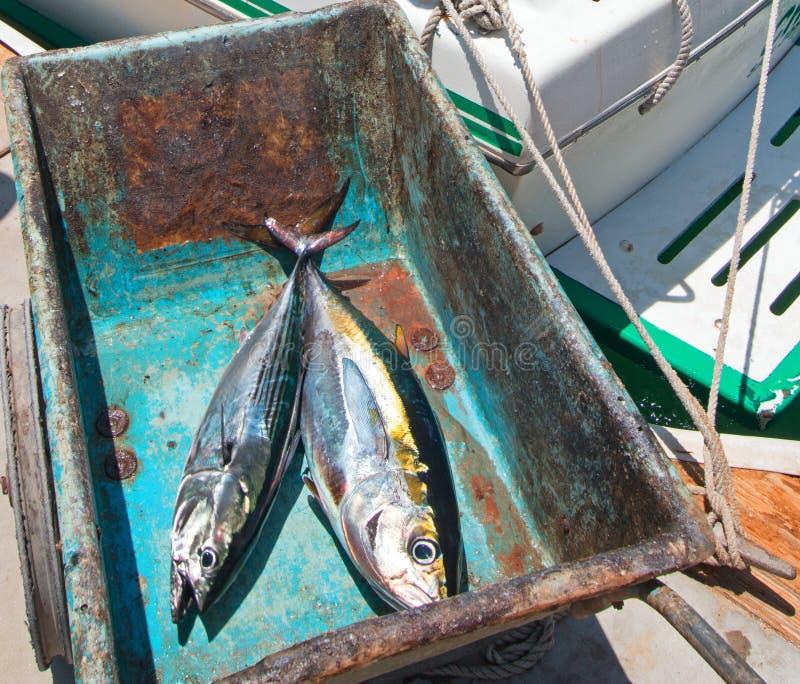 Thon et Bonita Mackerel d'Ahi de truite saumonnée sur leur chemin à la table de filet en San Jose Del Cabo Baja Mexico photographie stock libre de droits