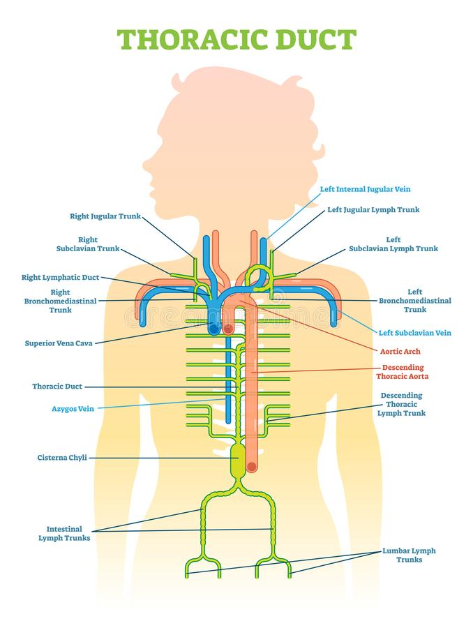 Thoracic Duct anatomical vector illustration diagram, medical scheme. Educational information vector illustration