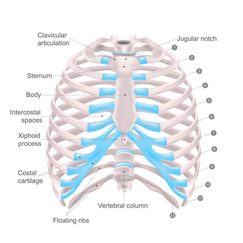 Thoracic klatka, anatomii ciała istota ludzka ilustracja wektor