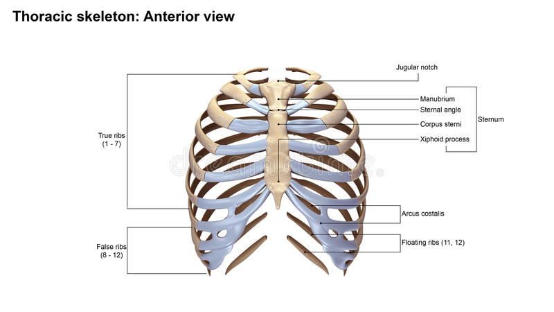 Thoracic Skeleton Anterior View Stock Photo Image Of Bones Chest