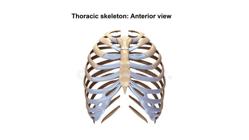Thoracic Skeleton Anterior view stock illustration