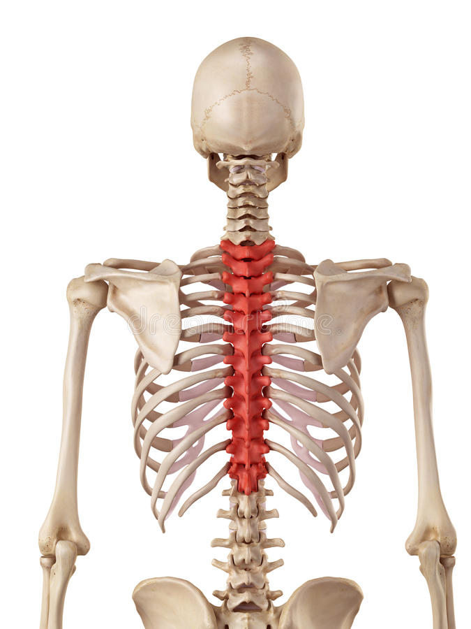 The Thoracic Spine Stock Illustration Illustration Of Posterior