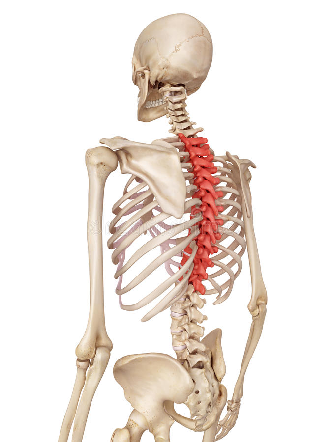 The thoracic spine stock illustration. Illustration of accurate ...