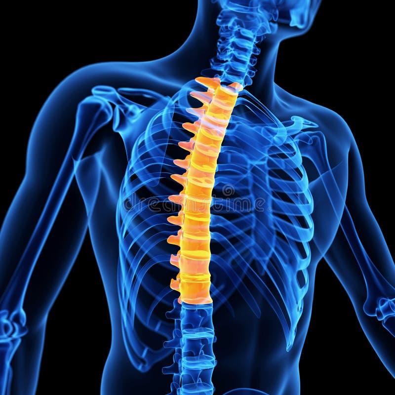 The Thoracic Spine Stock Illustration Illustration Of Skeletal