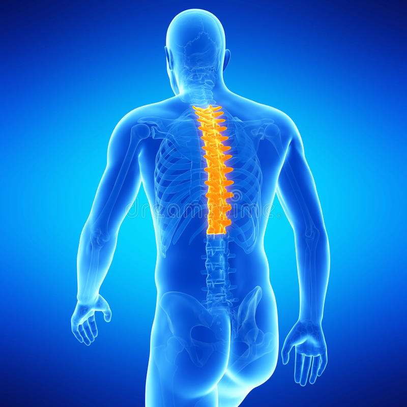 The thoracic spine vector illustration