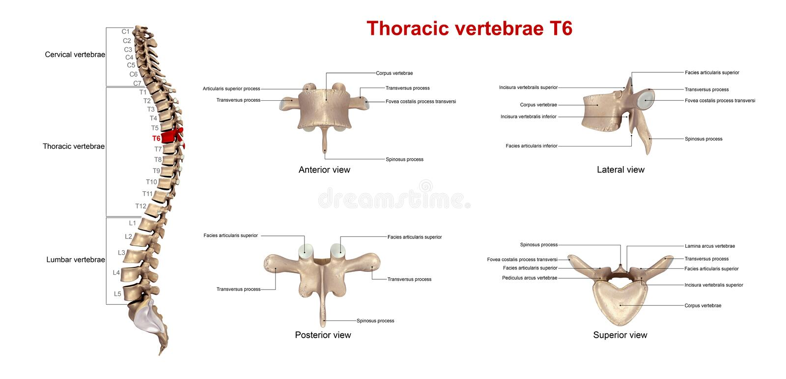 Thoracic vertebrae T6. The T6 vertebra lies in the middle of the twelve thoracic vertebrae that make up the central portion of the backbone. It is smaller than stock illustration