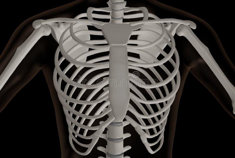 Thorakal del av det m?nskliga skelettet arkivfoton