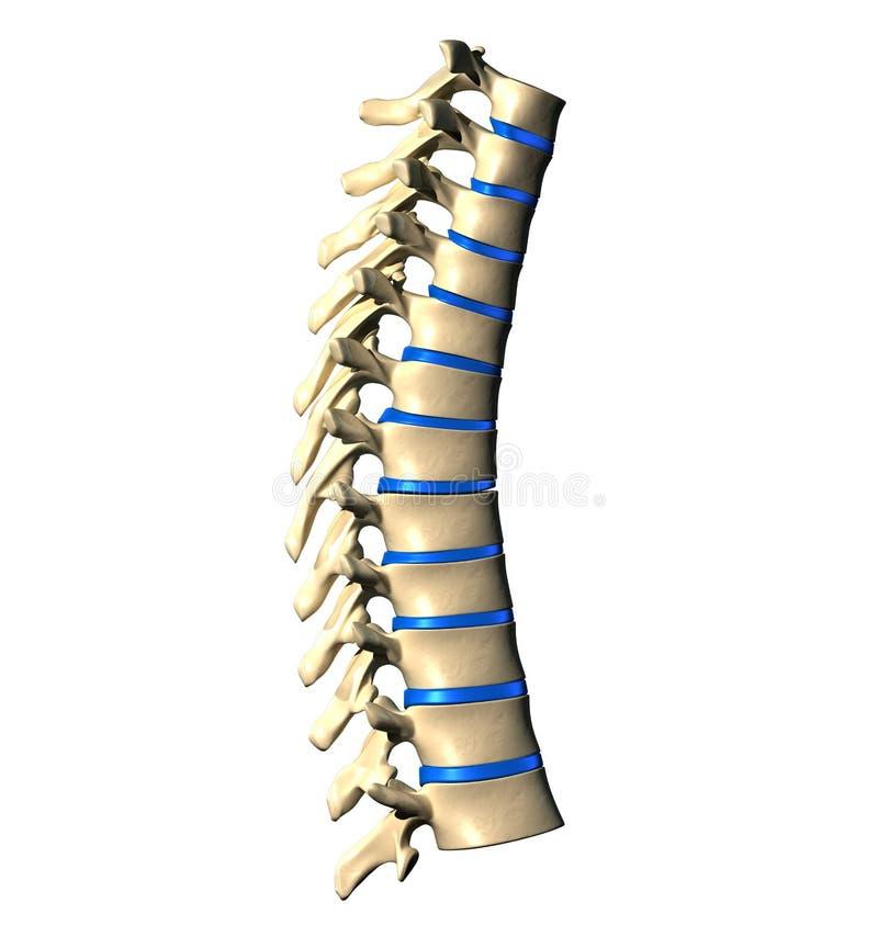 Thorakal rygg - lateralen beskådar vektor illustrationer