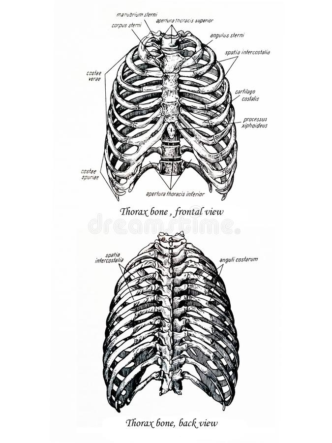 Thorax bone drawing frontal and back view royalty free stock image
