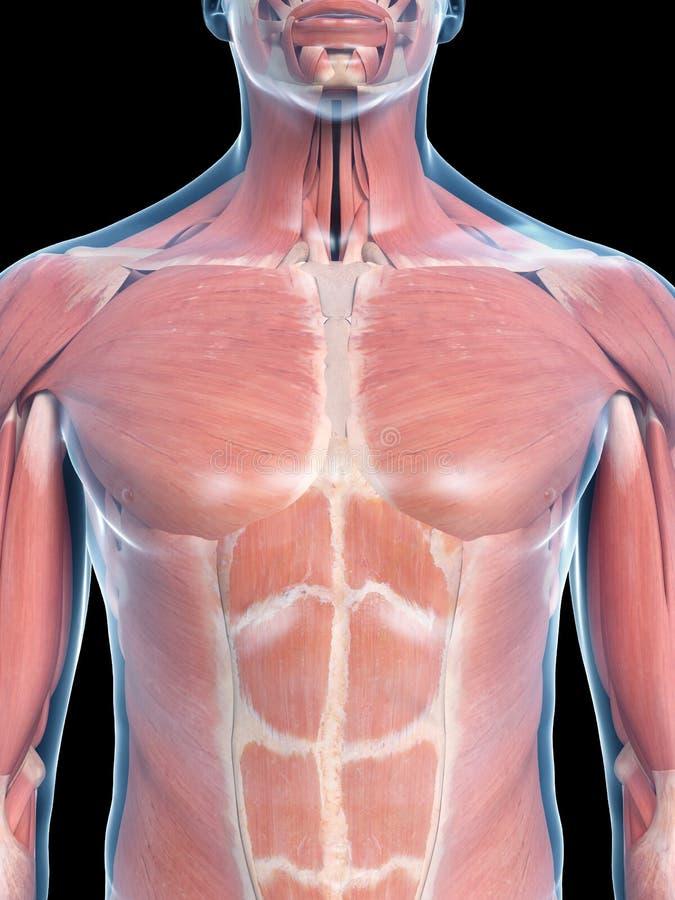 Thorax mięśnie ilustracji