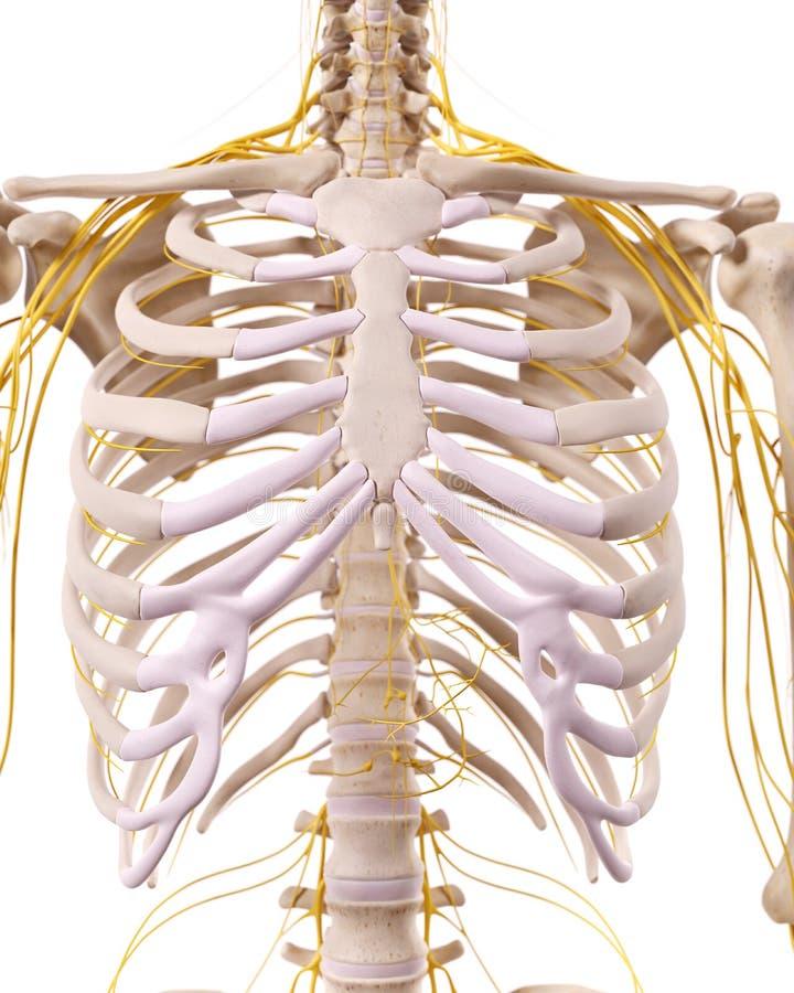 The thorax nerves stock illustration. Illustration of nerves - 56998711