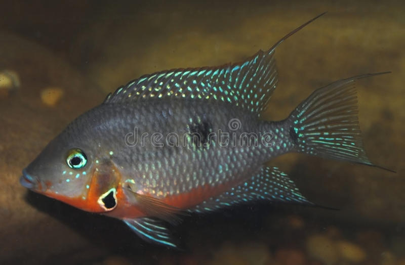 Thorichthys Meeki Firemouth immagini stock