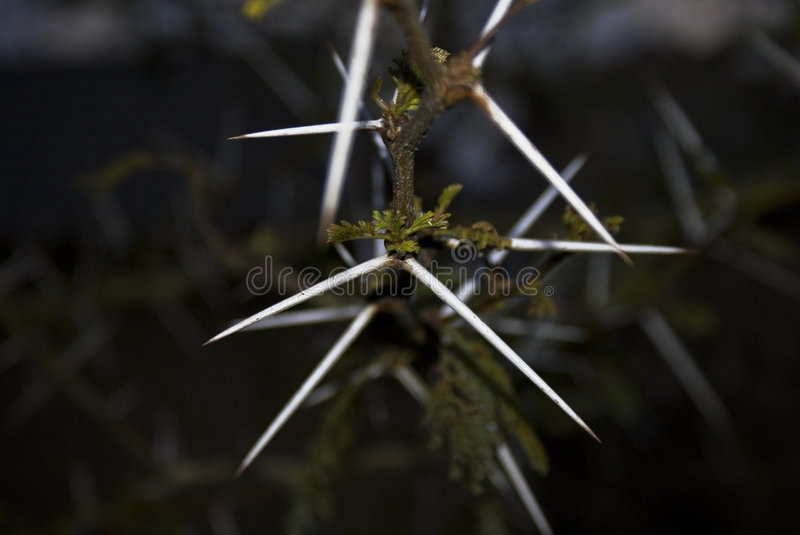 Download Thorn - Acacia Tree Royalty Free Stock Image - Image: 7602116