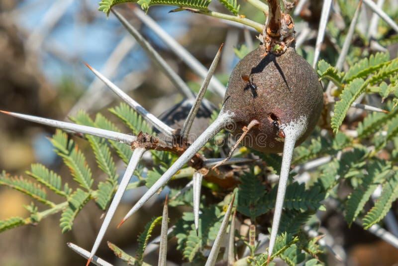 Thorn Acacia Tree Corm que silba imágenes de archivo libres de regalías