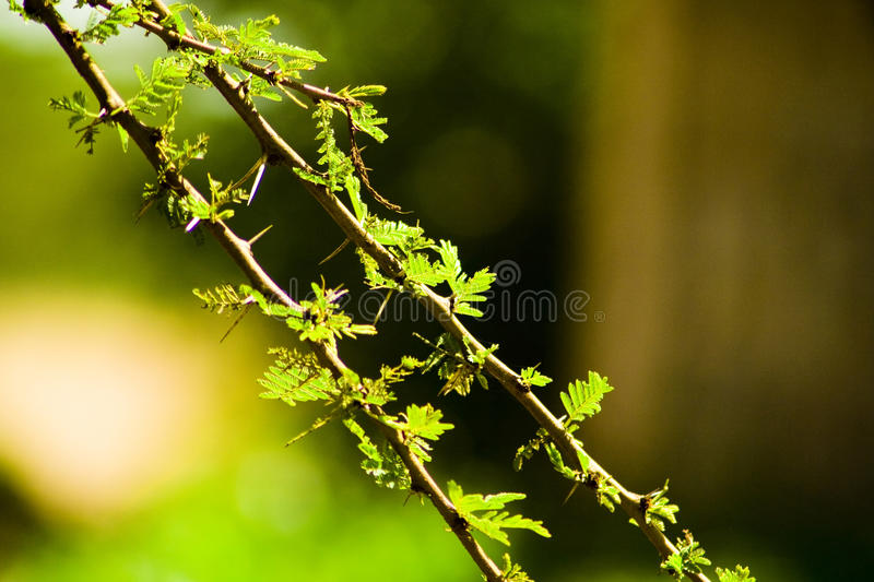 Thorn Branches royalty free stock photos
