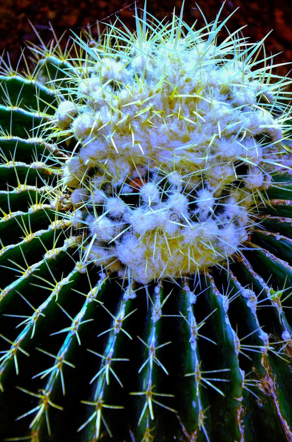 Thorn cactus succulent texture background, close up. Abstract, agave, art, beautiful, bloom, bloomimg, blossom, botany, botanical, bright, cacti, color stock image