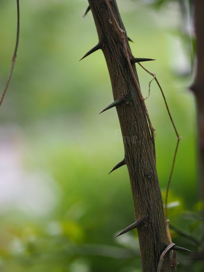 Thorn Cape av hesperitiumen för limefrukt för Kaffir för limefrukt för blodigel för bergamotMauritus papeda arkivfoto