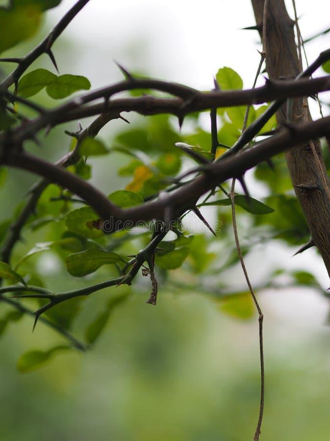 Thorn Cape av hesperitiumen för limefrukt för Kaffir för limefrukt för blodigel för bergamotMauritus papeda arkivfoton