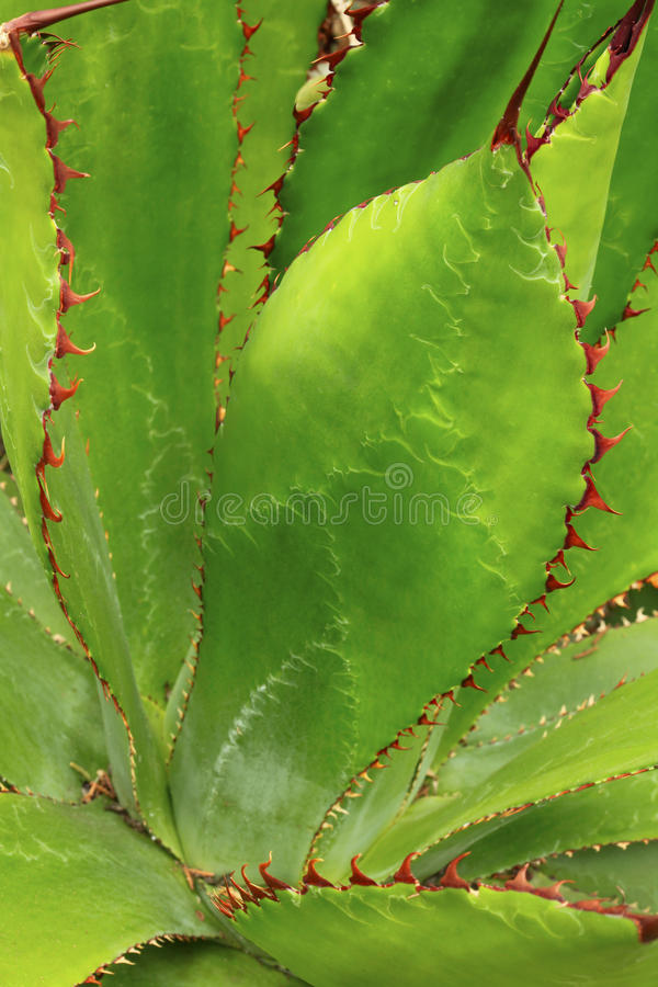 Free Thorn Covered Agave Cactus Closeup Royalty Free Stock Photo - 48414785