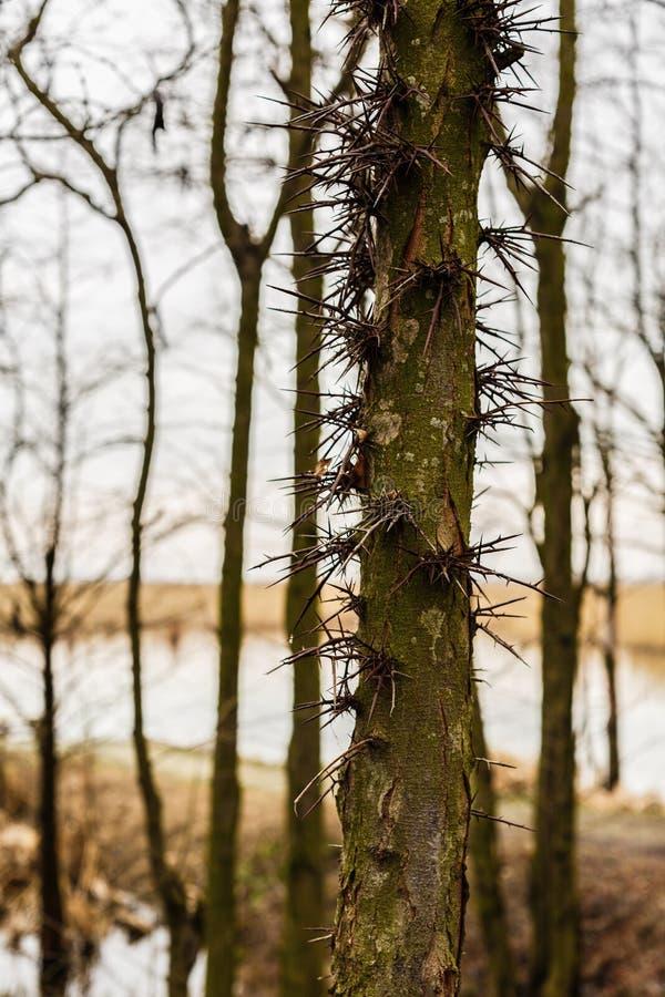 Thorn Tree stock foto's