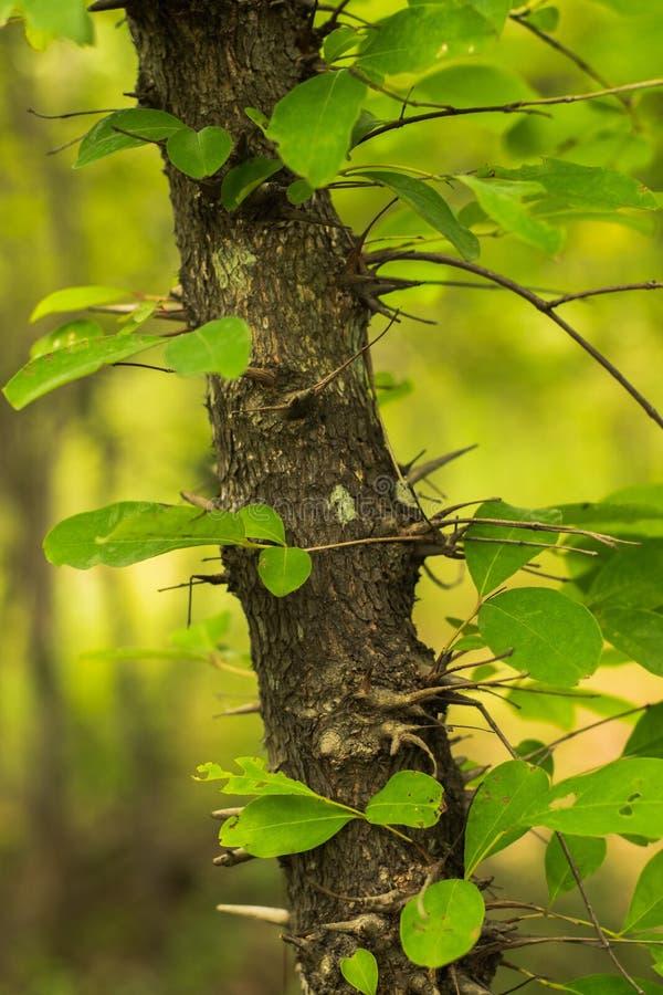 Thorn Tree lizenzfreies stockfoto