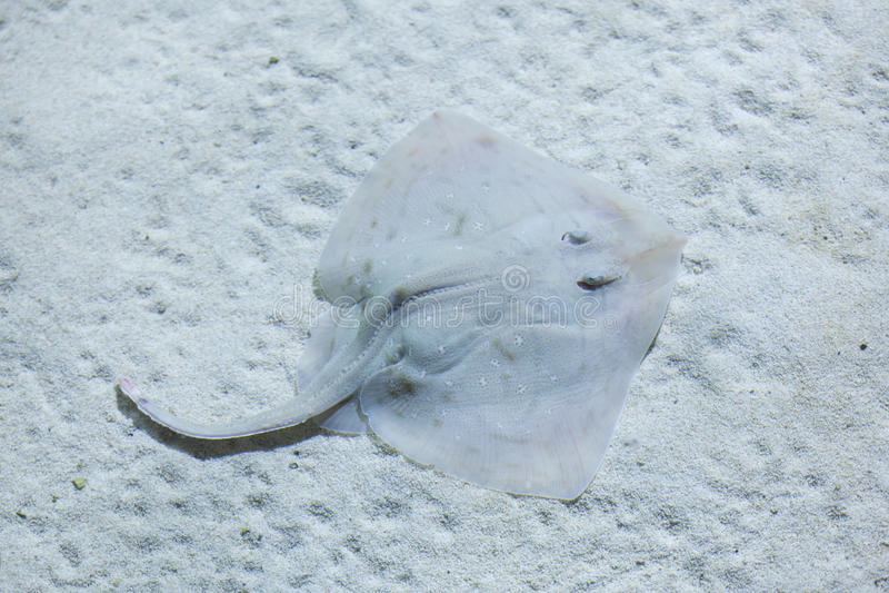 Thornback ray (Raja clavata). Thornback ray (Raja clavata), also known as the thornback skate. Wild life animal stock images