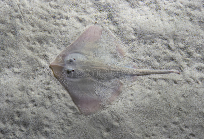 Thornback ray Raja clavata, also known as the thornback skate. Wild life animal royalty free stock image