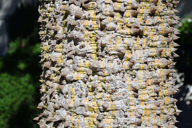 Thorney runk Różowy jedwabiu drzewo obraz stock