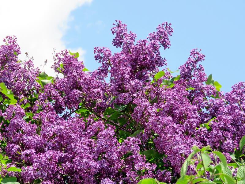Thornhill淡紫色bushs 2017年 免版税图库摄影