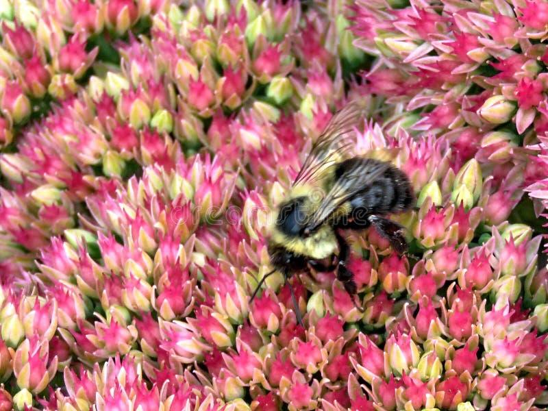 Thornhill-Biene auf einer Sedum-Blume 2017 lizenzfreies stockfoto