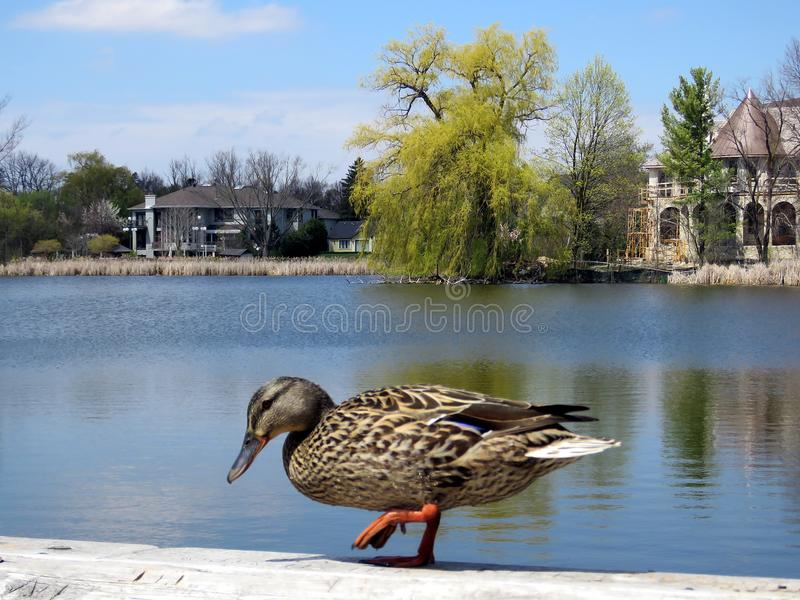 Thornhill duck walking 2017. Duck walking on the bank of Oakbank Pond in Thornhill, Canada, April 28, 2017 royalty free stock photos