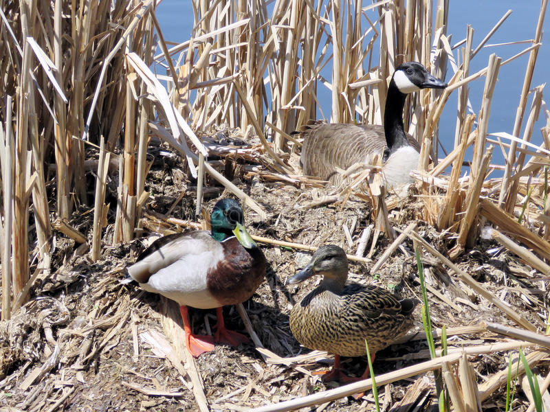 Thornhill ducks and goose 2017. Ducks and goose on the bank of Oakbank Pond in Thornhill, Canada stock photo