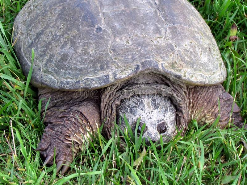 Thornhill la tortue de rupture 2017 photo libre de droits