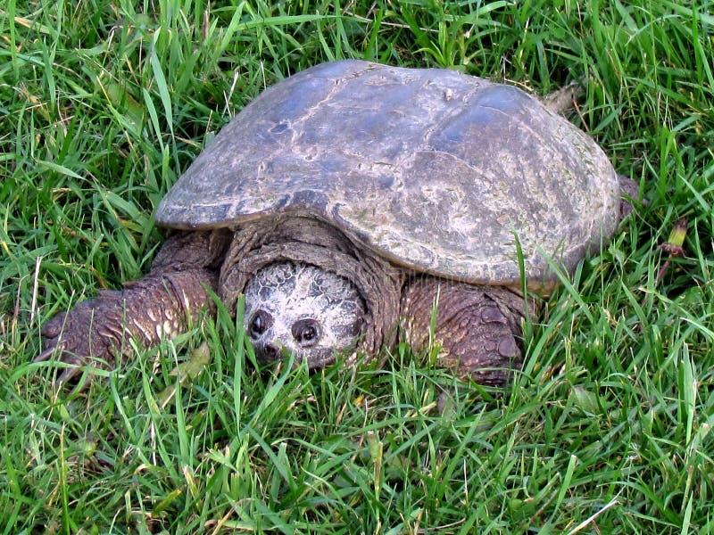 Thornhill la tortue sur l'herbe 2017 photos stock