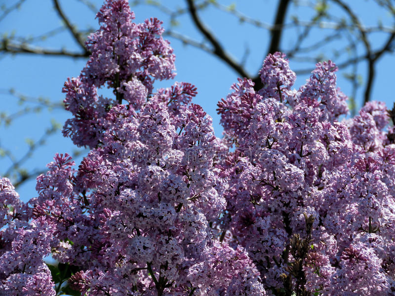 Thornhill lilac branchs 2017. Lilac branchs in Thornhill, Canada, May 18, 2017 stock photography