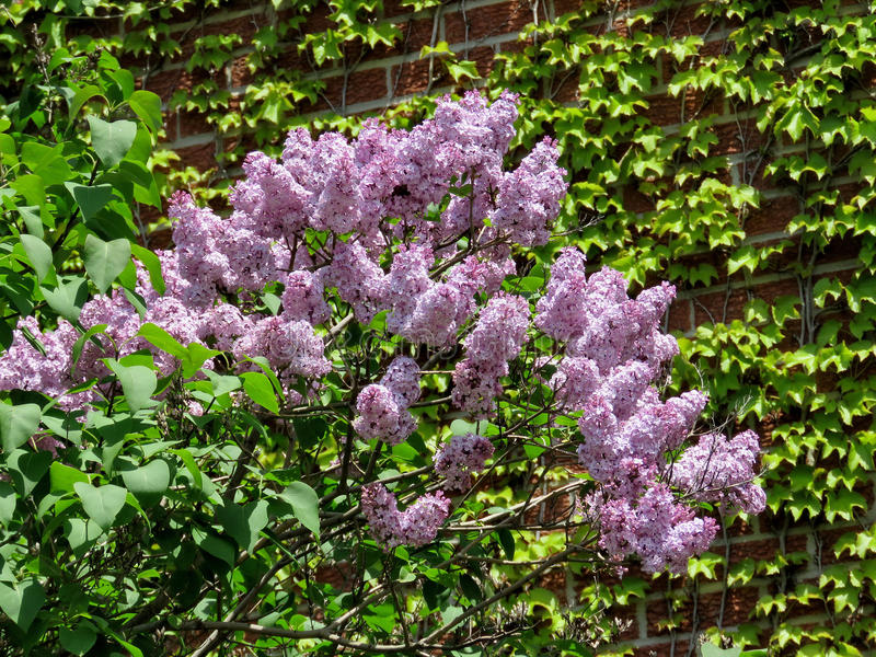 Thornhill lilac flowers 2017. Lilac flowers in Thornhill, Canada, May 18, 2017 stock images