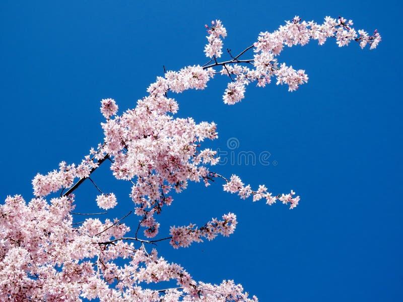 Thornhill o ramo 2017 da flor de cerejeira fotografia de stock