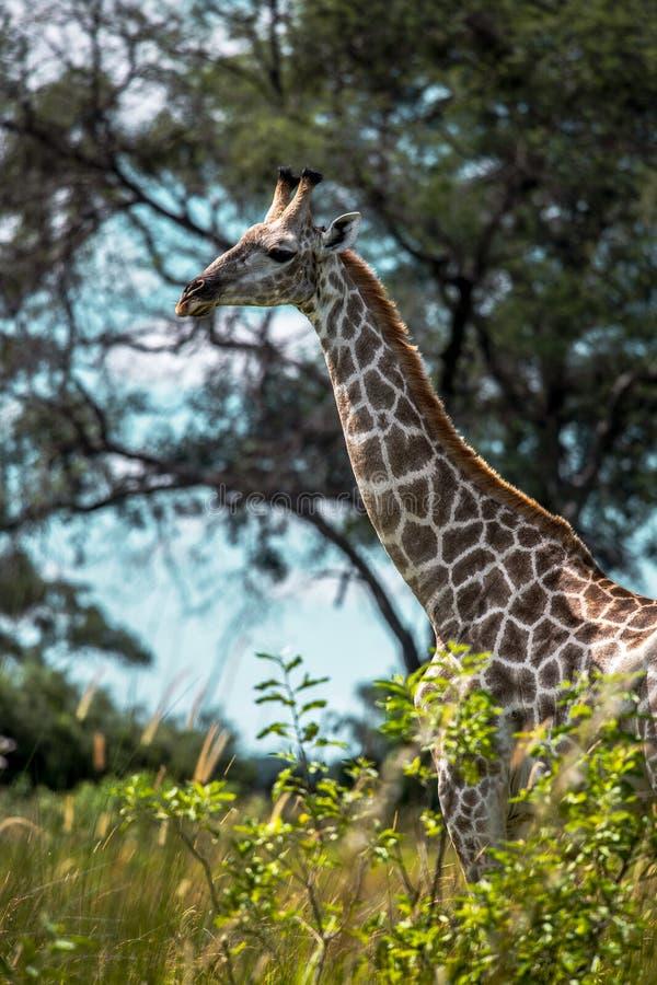 Thornicroft Girafe che insabbia nel bushveld nel parco nazionale del sud di Luangwa, Zambia, maraGiraffa del sud del Masi di Afri fotografie stock