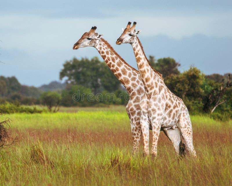 Thornicroft Girafe die in bushveld, Zambia, Zuid-Afrika Giraffa schuren royalty-vrije stock foto's