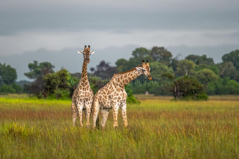 Thornicroft Girafe sanding w bushveld w Południowym Luangwa parku narodowym, zambiowie, Południowy AfricaBotsNamibia Masi maraGir obrazy royalty free