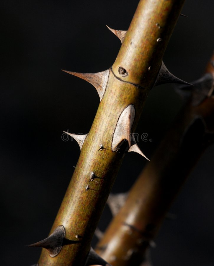 Thorns stock image