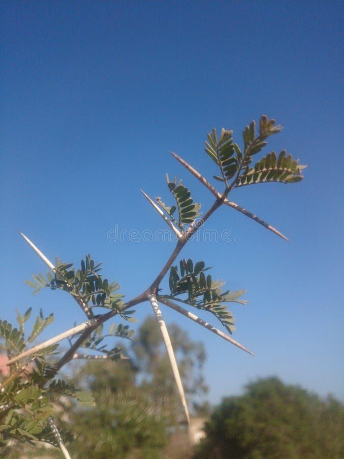 Thorns of Acacia stock photo