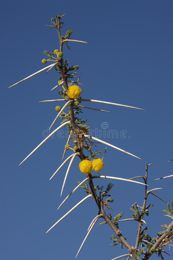 Thorns on Acacia Tree - Namibia royalty free stock photography
