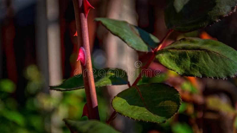 Thorns of a rose. Maybe thorns have roses stock images