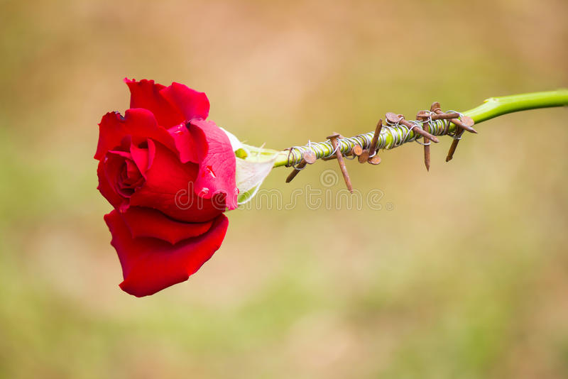 thorns wrapping red rose. stock photography