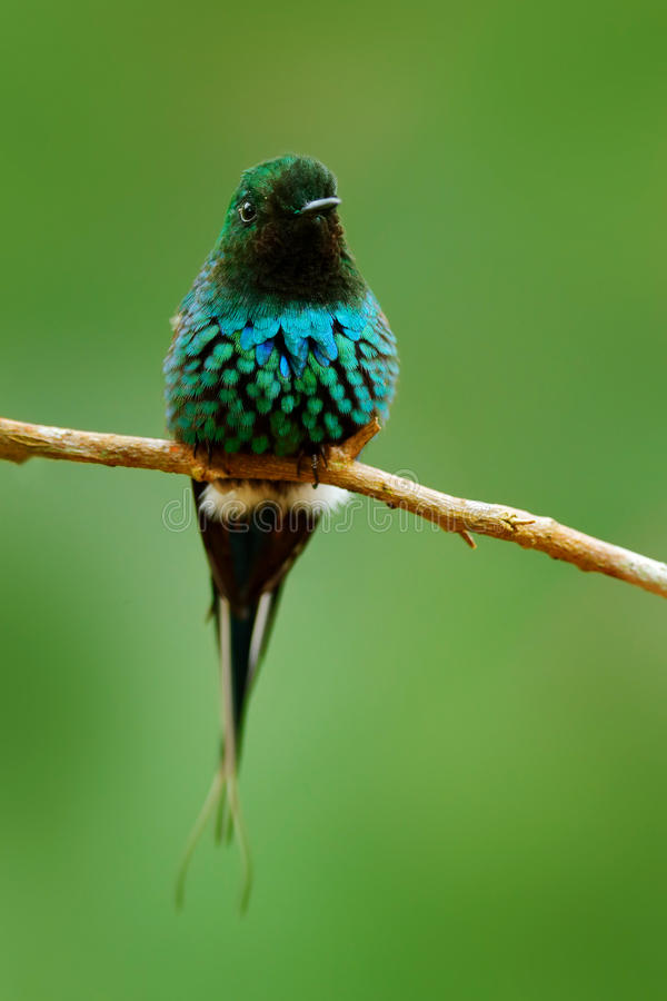 Thorntail verde, conversii de Discosura, La Paz Waterfall Garden, Costa Rica Colibrí con el fondo verde claro Escena de la fauna imagen de archivo libre de regalías