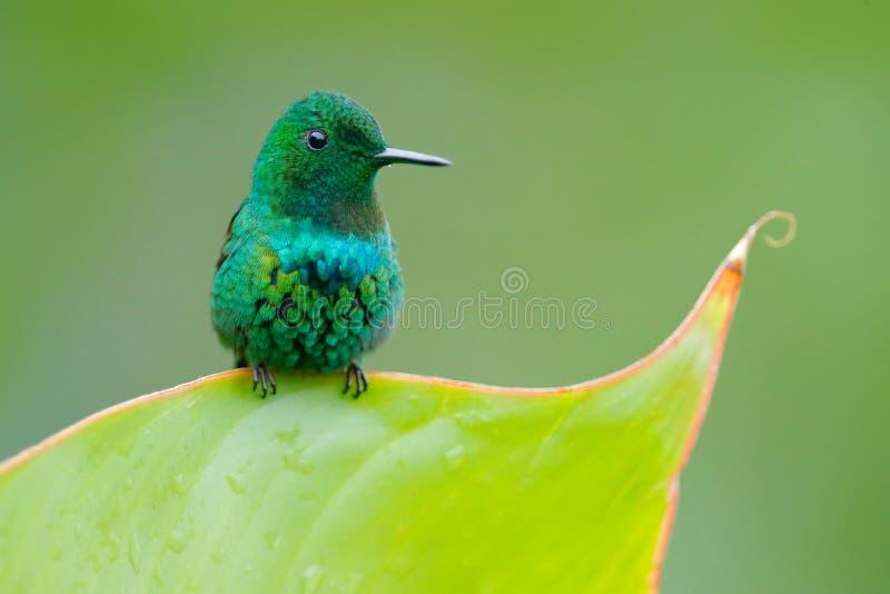 Thorntail verde, conversii di Discosura, La Paz Waterfall Garden, Costa Rica Colibrì con chiaro fondo verde Scena della fauna sel fotografie stock