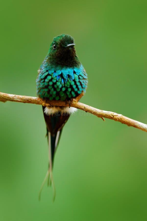 Thorntail vert, conversii de Discosura, La Paz Waterfall Garden, Costa Rica Colibri avec le fond vert clair Scène de faune image libre de droits