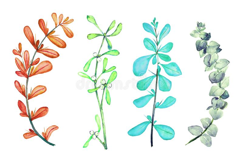 Thorny berberis vulgaris common, European or simply barberry, Mistletoe twig, blue eucalyptus tetragona, branches set, isolated royalty free illustration